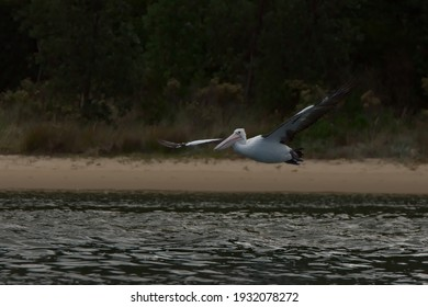 Pelican flying on the water