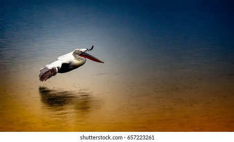 pelican flying over lake surface  on a rainy day