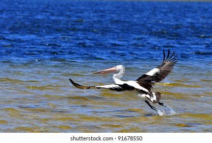 Pelican flying over ocean