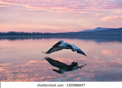 pelican flying over water in sunrise, pelican in sunrise colors flying over a lake
