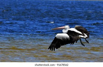 Pelican flying over Western Australian Lake
