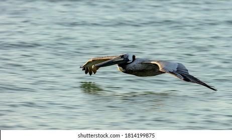 Pelican gliding over water, Sanibel Island, Florida, USA