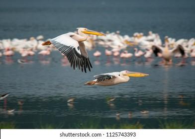Pelican, Great White Pelican (Pelecanus onocrotalus), National Park, Kenya, Africa, Pelecaniformes Order, Pelecanidae Family