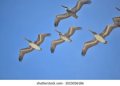 Pelican group in formation from below