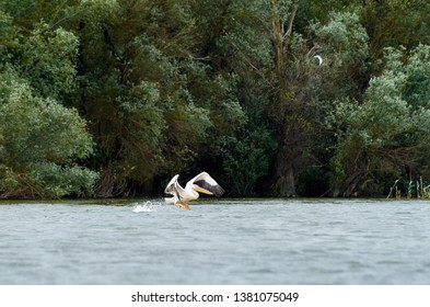 Pelican hitting the water with open wings early morning on the Danube river