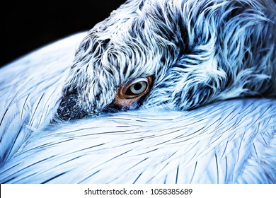 pelican isolated detailed portrait