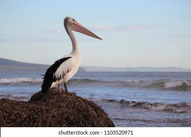 Pelican looking out to sea.  Aldinga Beach, South Australia.