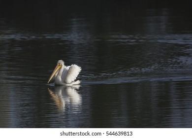 Pelican meandering along water in lake