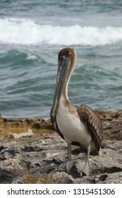 Pelican in Mexico.