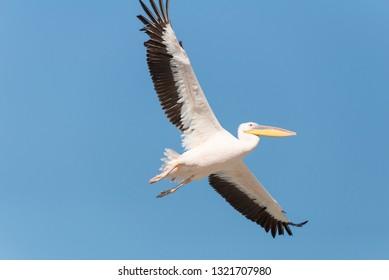 Pelican migration at Emek Hefer, Israel