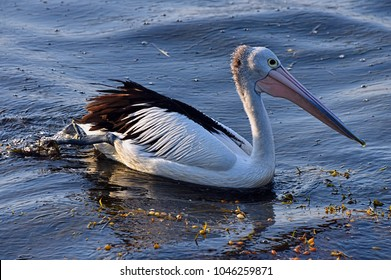 Pelican. Nature's perfect fishing animal.