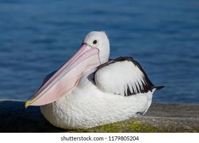 pelican in Noosa, Queensland, Australia