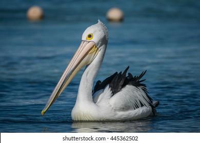 Pelican off Rottnest Island, Perth, Australia