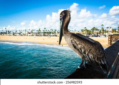 Pelican on the Balboa Pier, in Newport Beach, California.