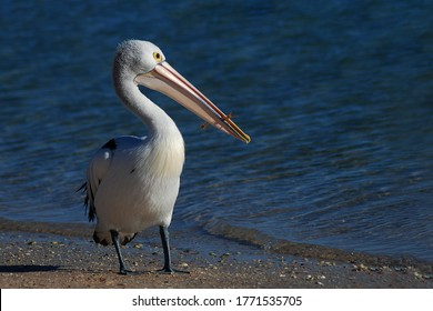 pelican on beach at australian shore seabird