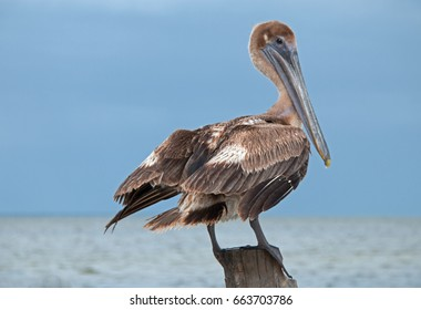 Pelican on boat dock post - Isla Mujeres (small island across bay from Cancun Mexico)