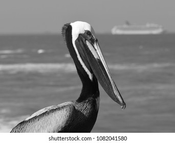Pelican on the Cocoa Beach Pier, with cruise ship in the background.