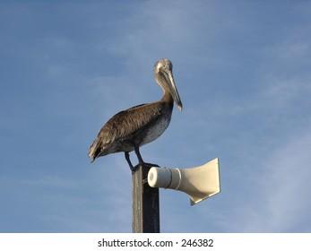 A Pelican on the deerfield beach pier, Florida