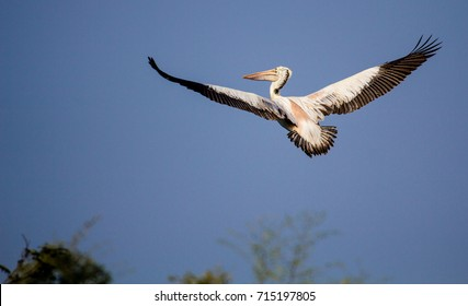 Pelican on flight with feathers open