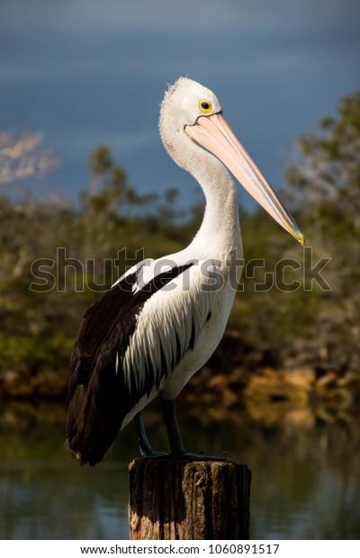 Pelican on Harbour Post