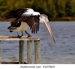 Pelican on jetty