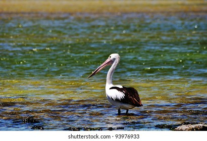 Pelican on lake