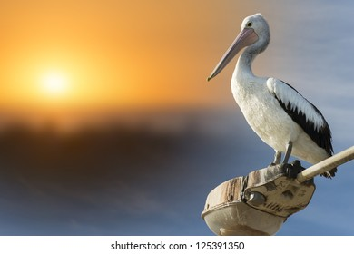 Pelican on a lamp post with the sun setting