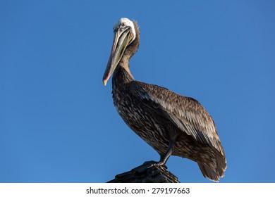Pelican on a perch