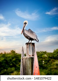 Pelican on a post with blue sky, white and gray Pelican, beautiful big pelican bird, Bird sunset, birds sunrise