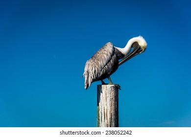 Pelican on a post in Saint Petersburg, Florida.