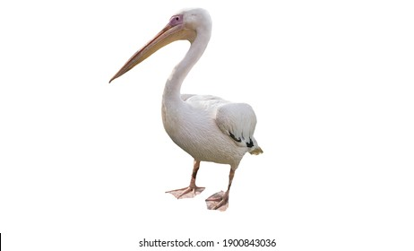 Pelican on a white background, beautiful bird, pelican is isolated