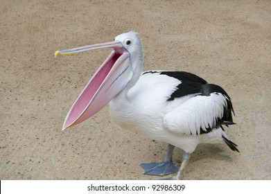 Pelican with open beak