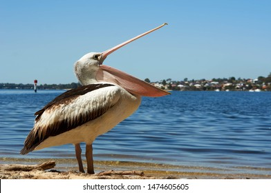 Pelican opening mouth to eat something or yawning