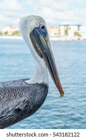 A Pelican overlooks the water