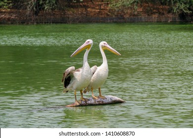 Pelican pair perched on a rock in middle of a water body.