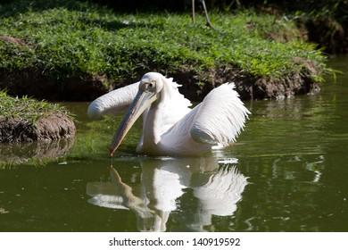 Pelican (Pelacanus Onocratalus)