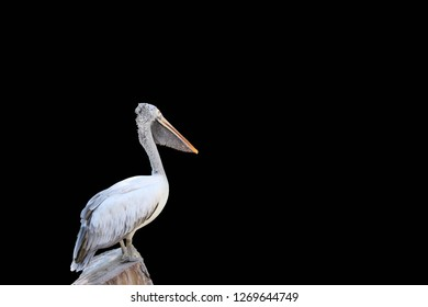 The pelican perch on the timber isolated on black background. Clipping path. it is a large gregarious waterbird with a long bill, an extensible throat pouch for scooping up fish.