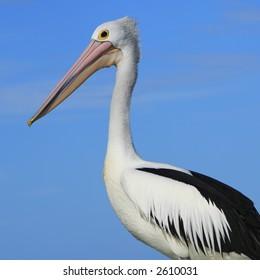 Pelican, portrait.
