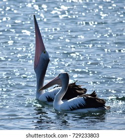Pelican in the process of swallowing the fish - spectacular view