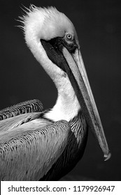 pelican profile close up in the wild at Florida, USA