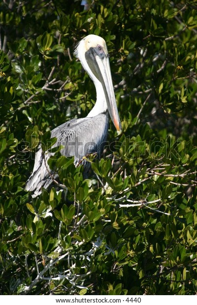 pelican resting in the everglades