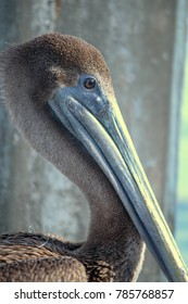 Pelican resting on a dock