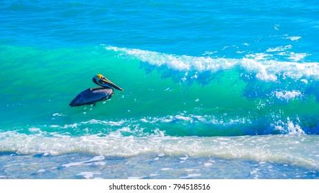 Pelican riding the beautiful green wave