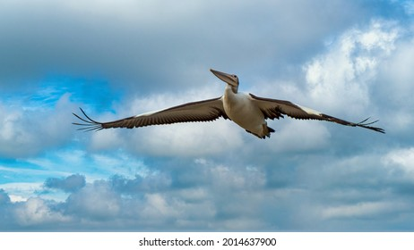 Pelican at Safety Bay foreshore is an important ecosystem for waterbirds.