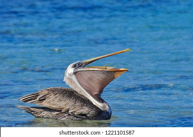 A Pelican sitting in the water eating with it's beak open