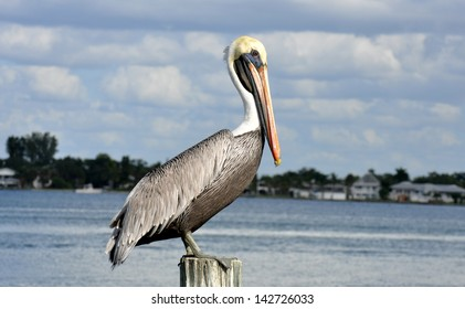 A pelican standing on a dock piling on a beautiful Florida day in the keys. Nature at its best. Mr. Pelican is ready to dine on fish feast.