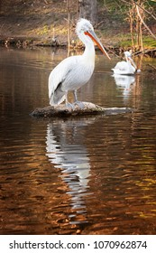 Pelican standing on the tree in water with nice reflection