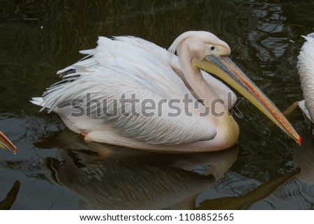 A pelican swimming