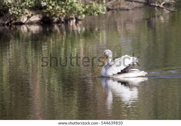 Pelican swimming in lake with reflection