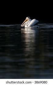 pelican swimming in yellowstone national park - american white pelican (Pelecanus erythrorhynchos)